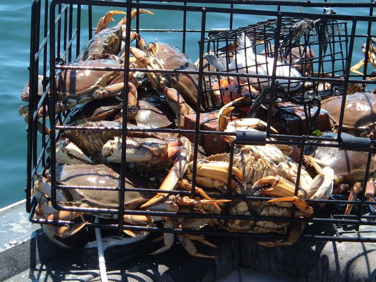 How to Catch Dungeness Crab: Pots, Bait, and Strategies