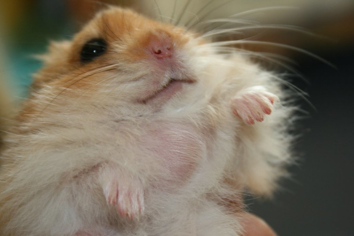 Sick Hamster - Signs and Treatment of Abscess in Hamsters