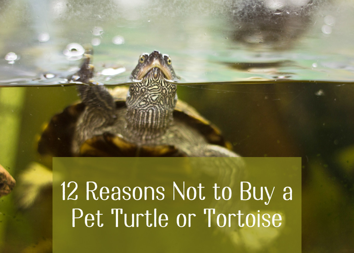 12 Reasons Not to Buy a Pet Turtle or Tortoise