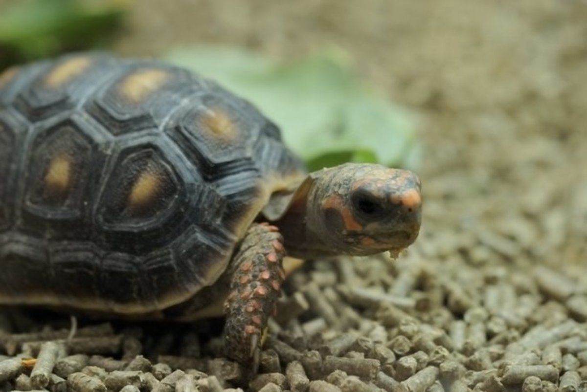 Red-footed tortoises tend to be healthy, but there are some potential injuries and ailments to watch out for.