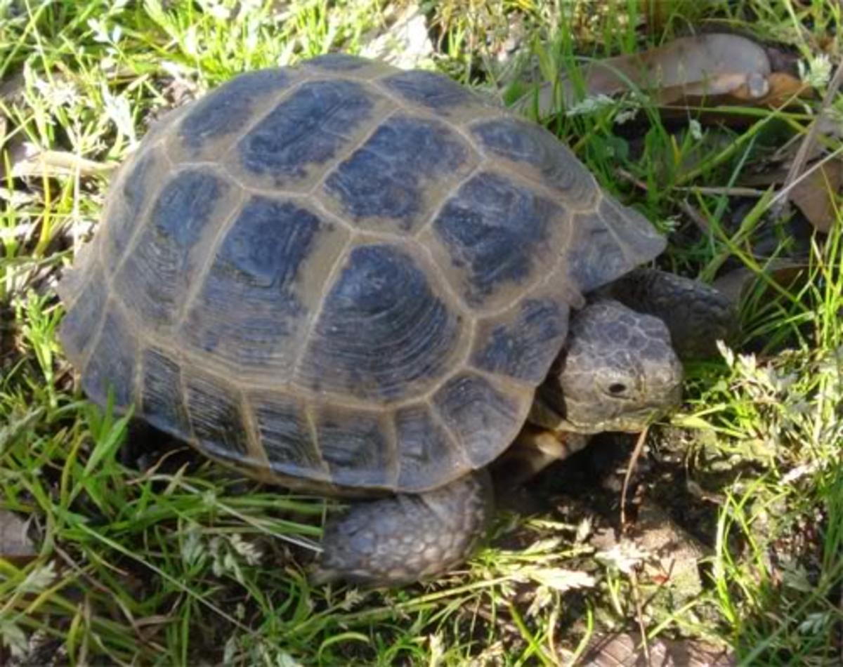 How to care for a Russian tortoise.