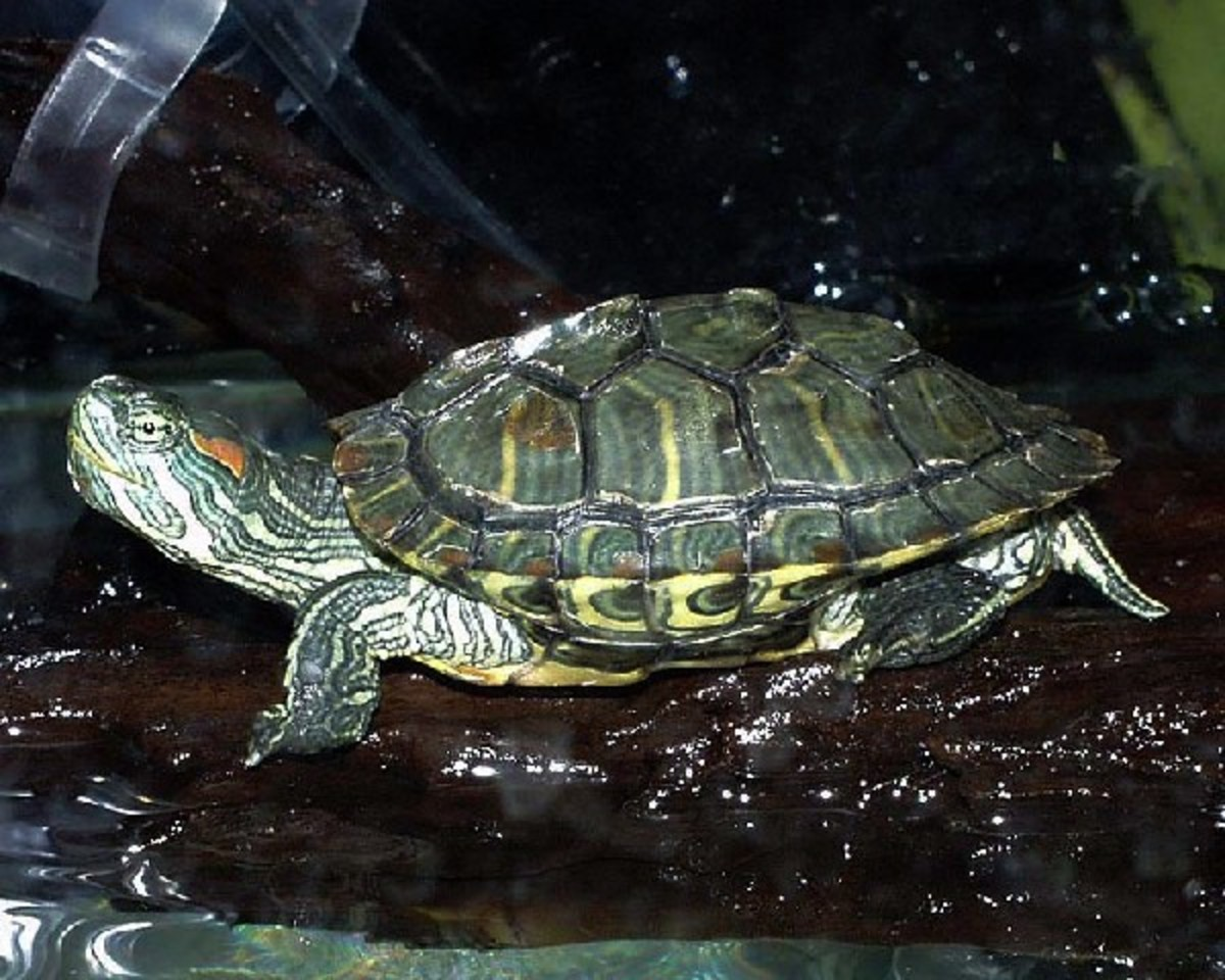 Best Beginner Pet Turtle and Tortoise