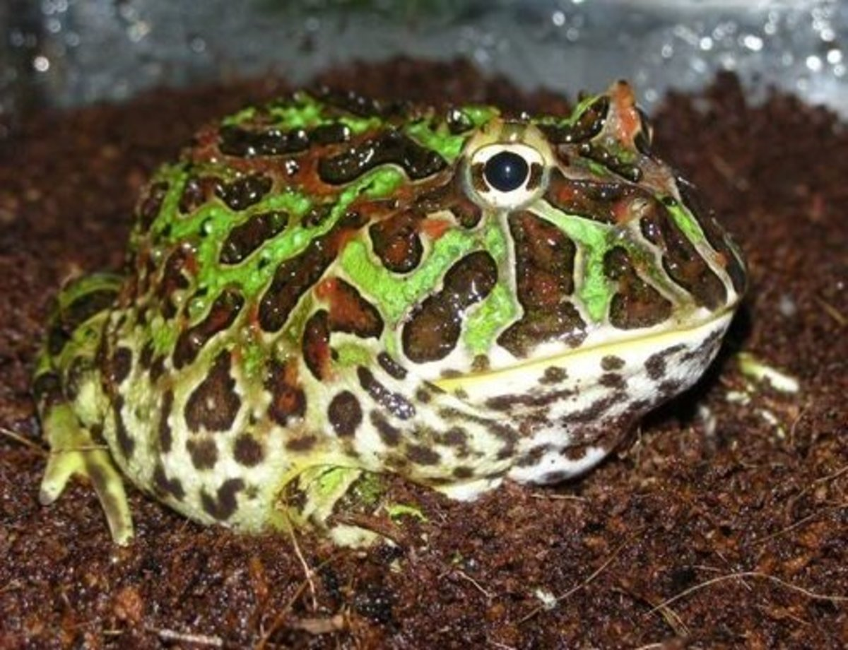 Pet frog chubby