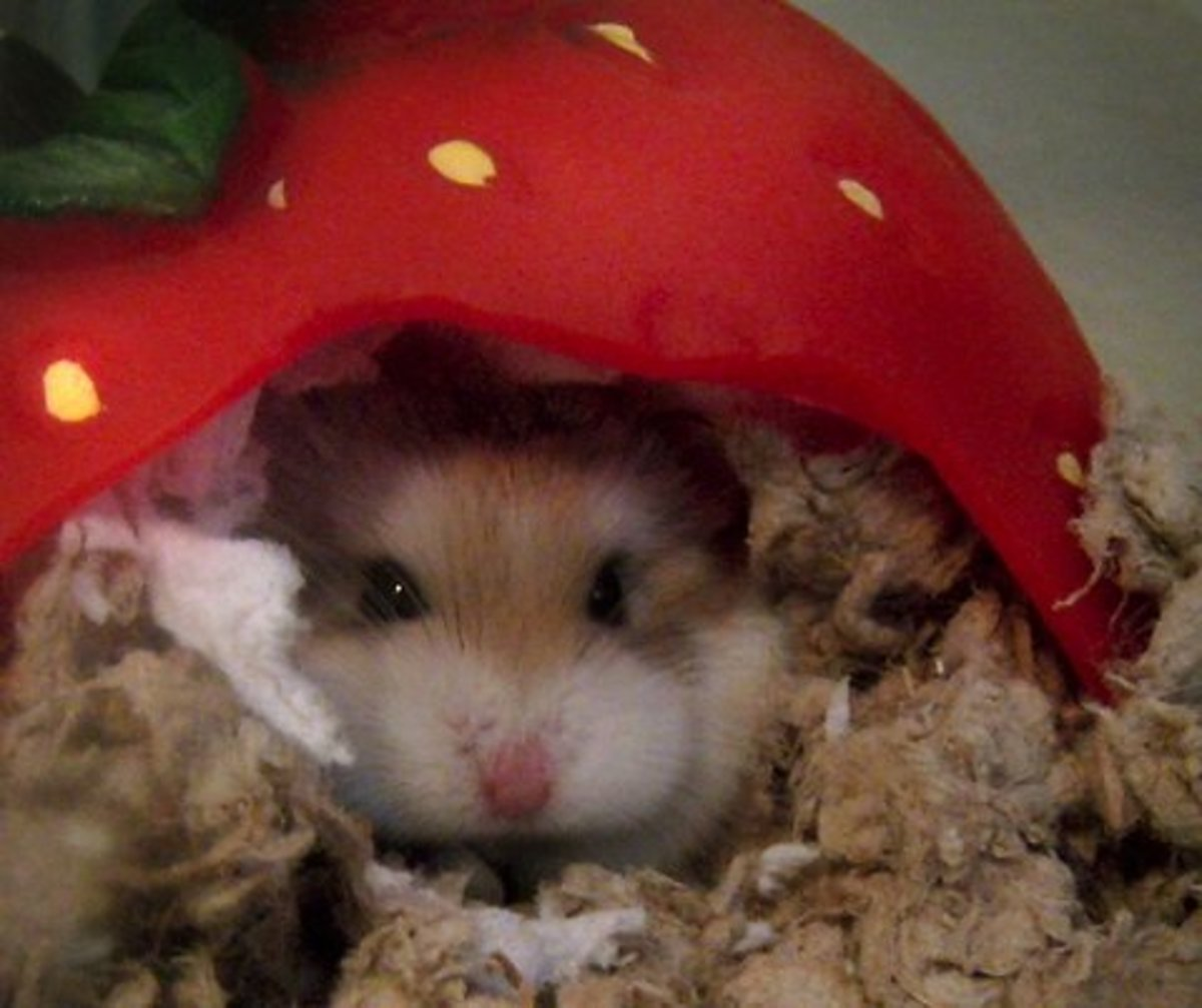 Sick Hamster - Signs and Treatment of Allergies in Hamsters
