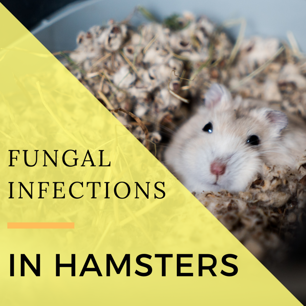 Signs of and Treatment of Fungal Infections in Hamsters