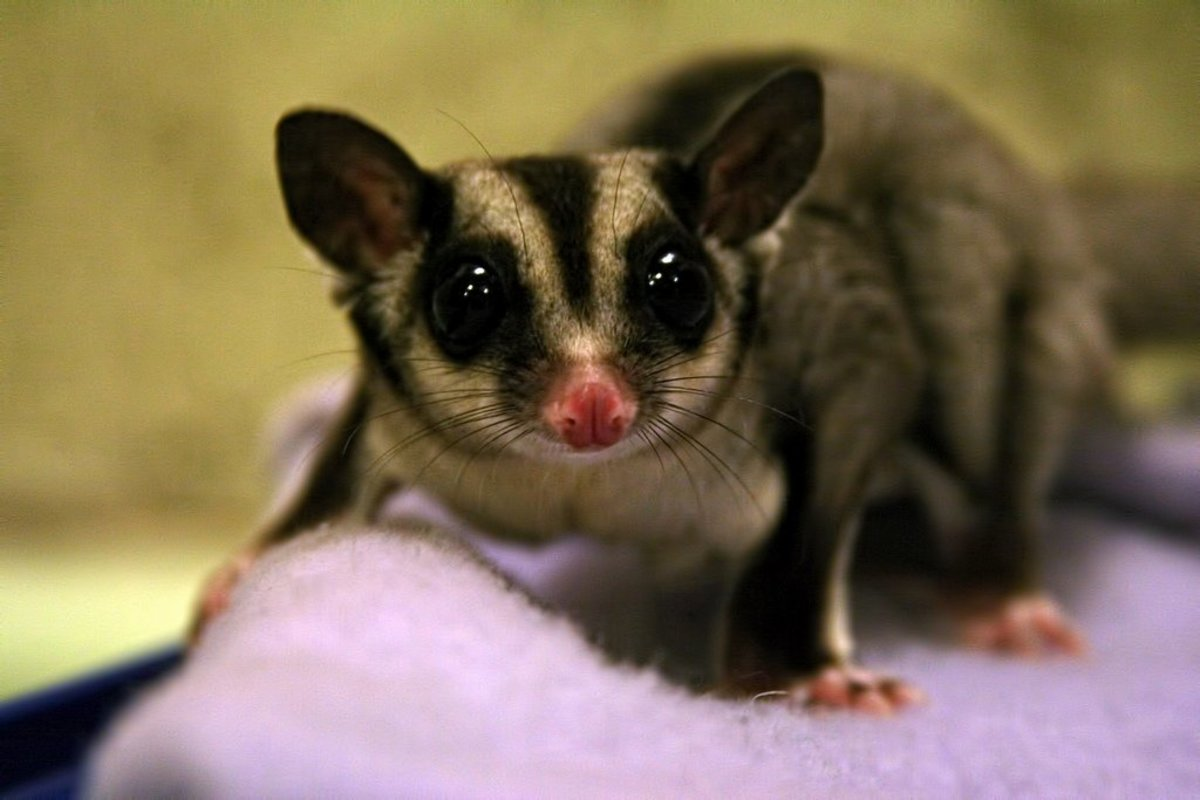 Have you ever met a sugar glider? It is an unusual marsupial that is becoming very popular in the United States. This sugar glider is named Snowball.