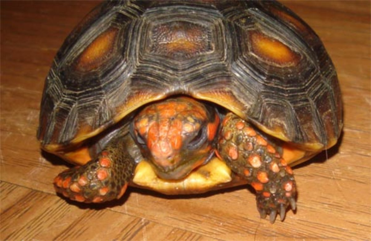 Septicemia in Pet Tortoises