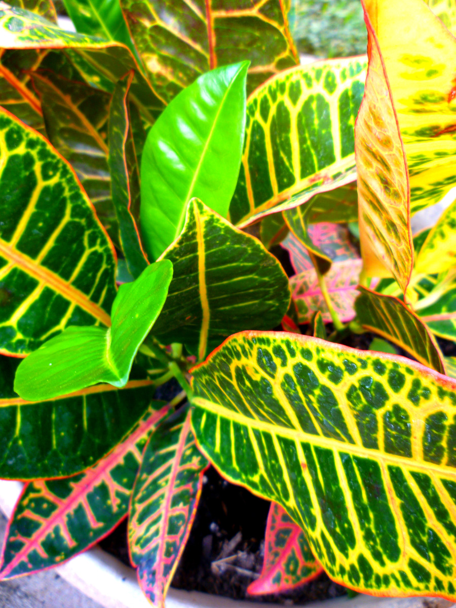 Closeup of croton plant