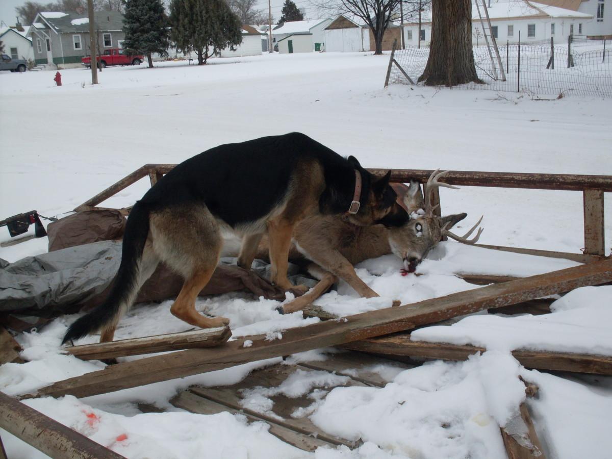 K-10, the German Shepherd, loves deer season.