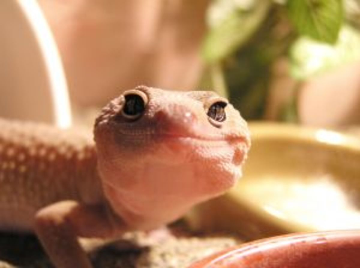 What to Do If Your Leopard Gecko Won't Poop