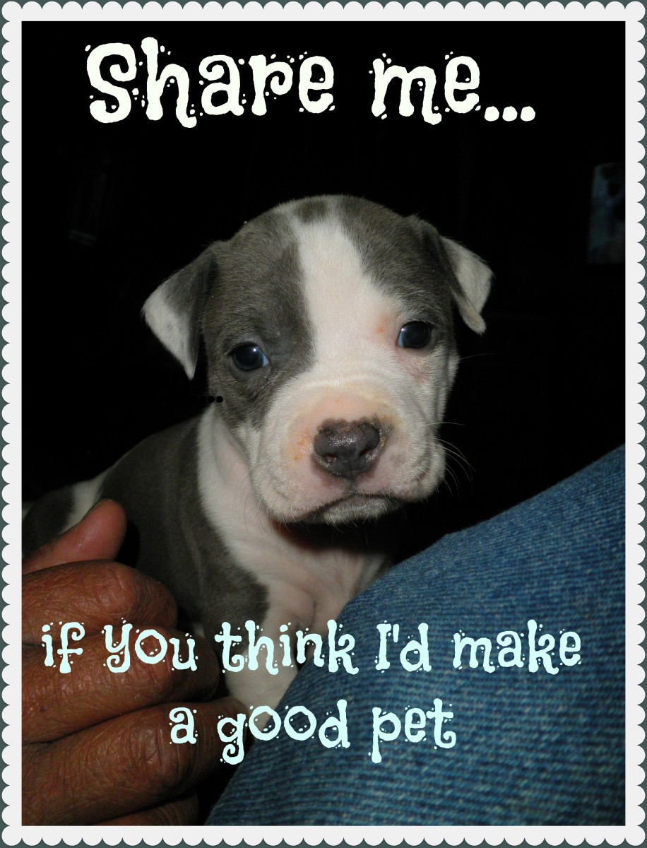 Do Pit Bull Dogs Make Good Pets?