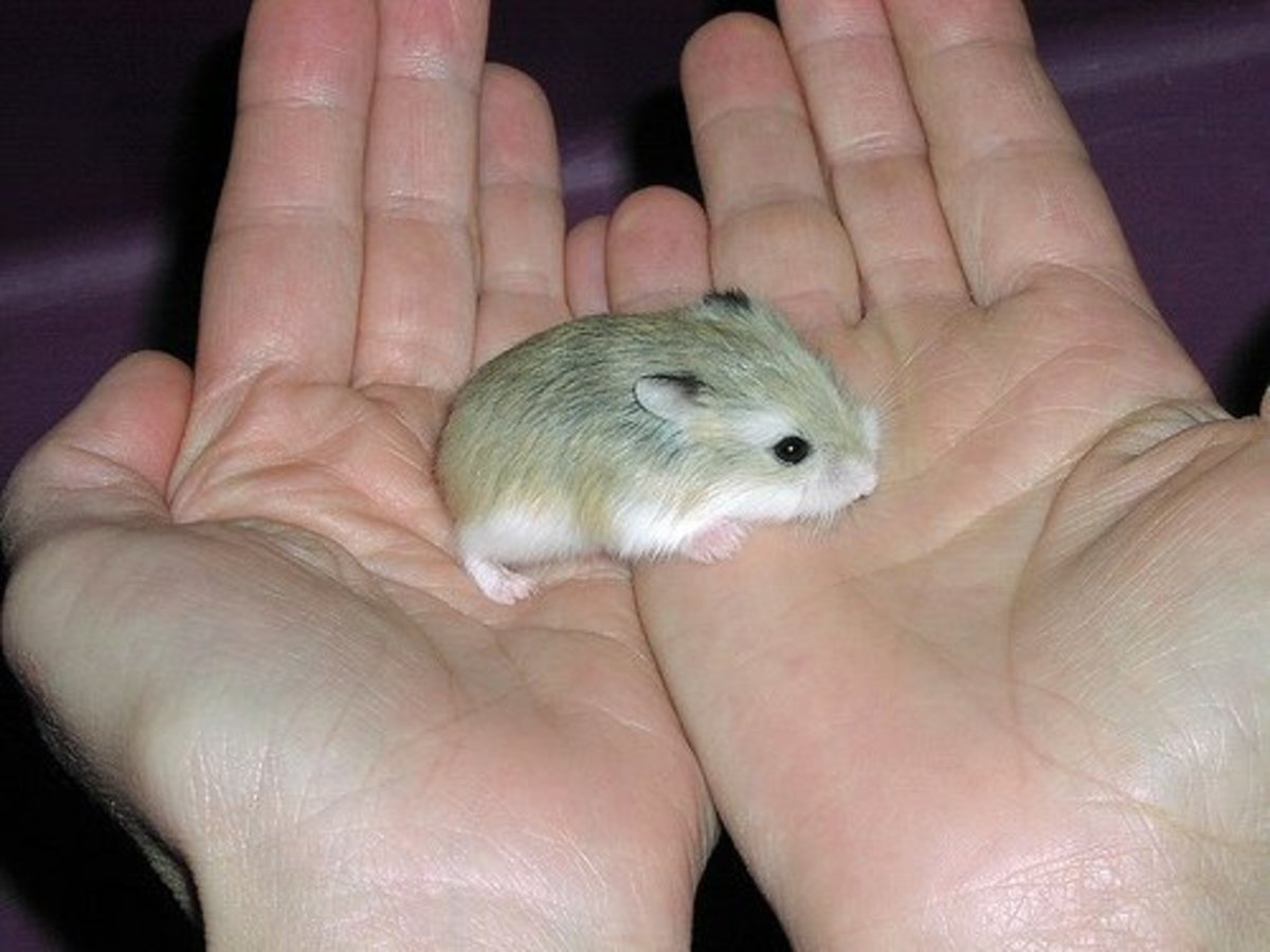 Learn how to train your pet hamster to let you hold him.
