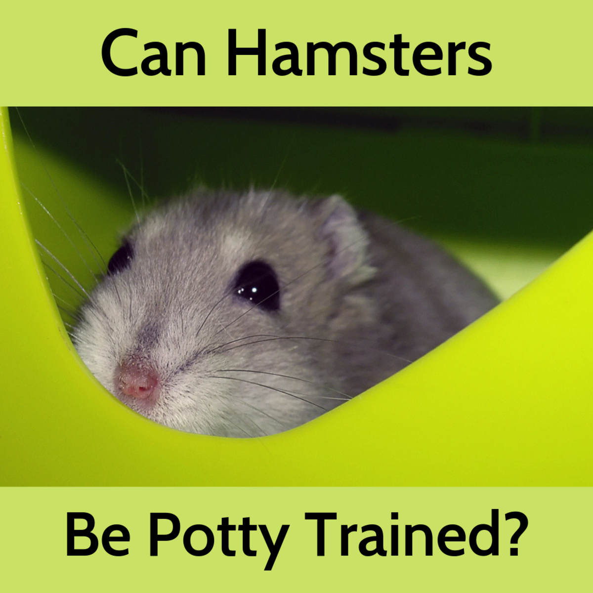 How to Train Your Hamster to Use a Litter Box