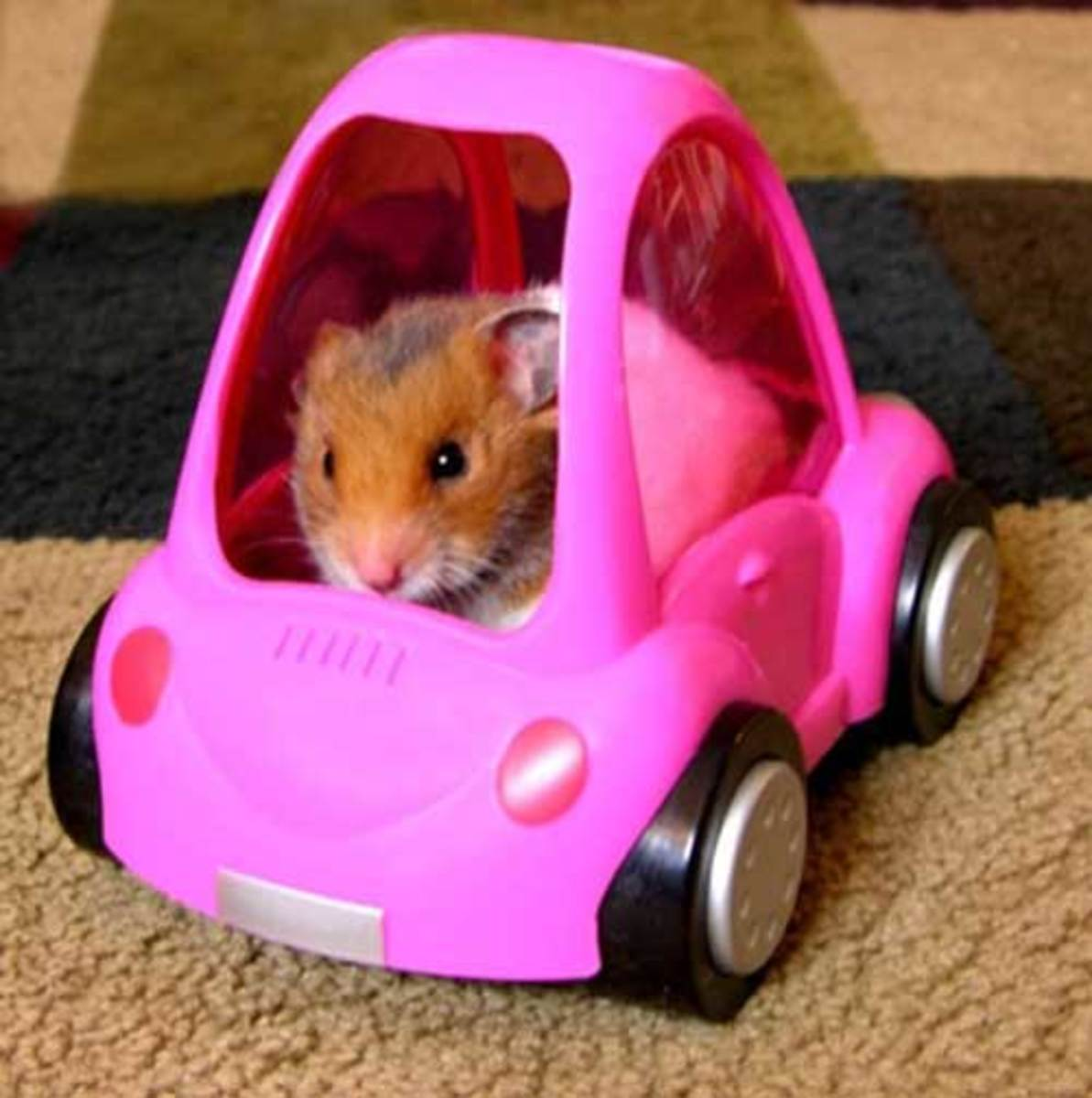 Traveling with a Hamster
