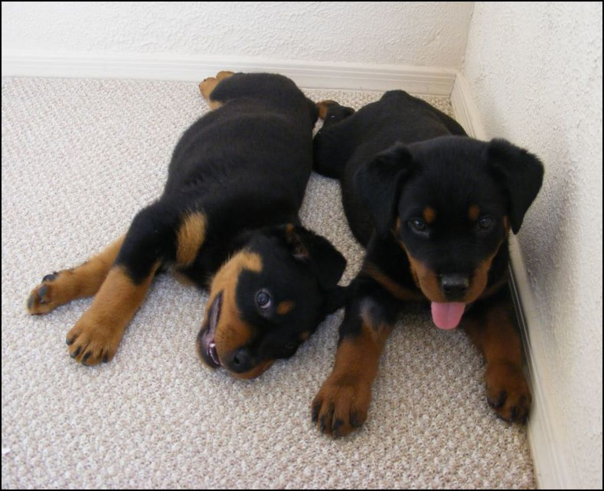 """If you want to know if your new puppy is a purebred dog, you'll need their """"papers."""""""