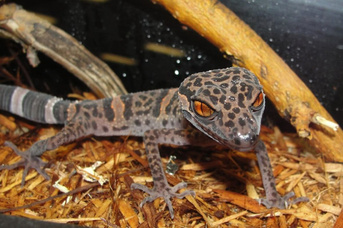 Caring for Chinese Cave Geckos