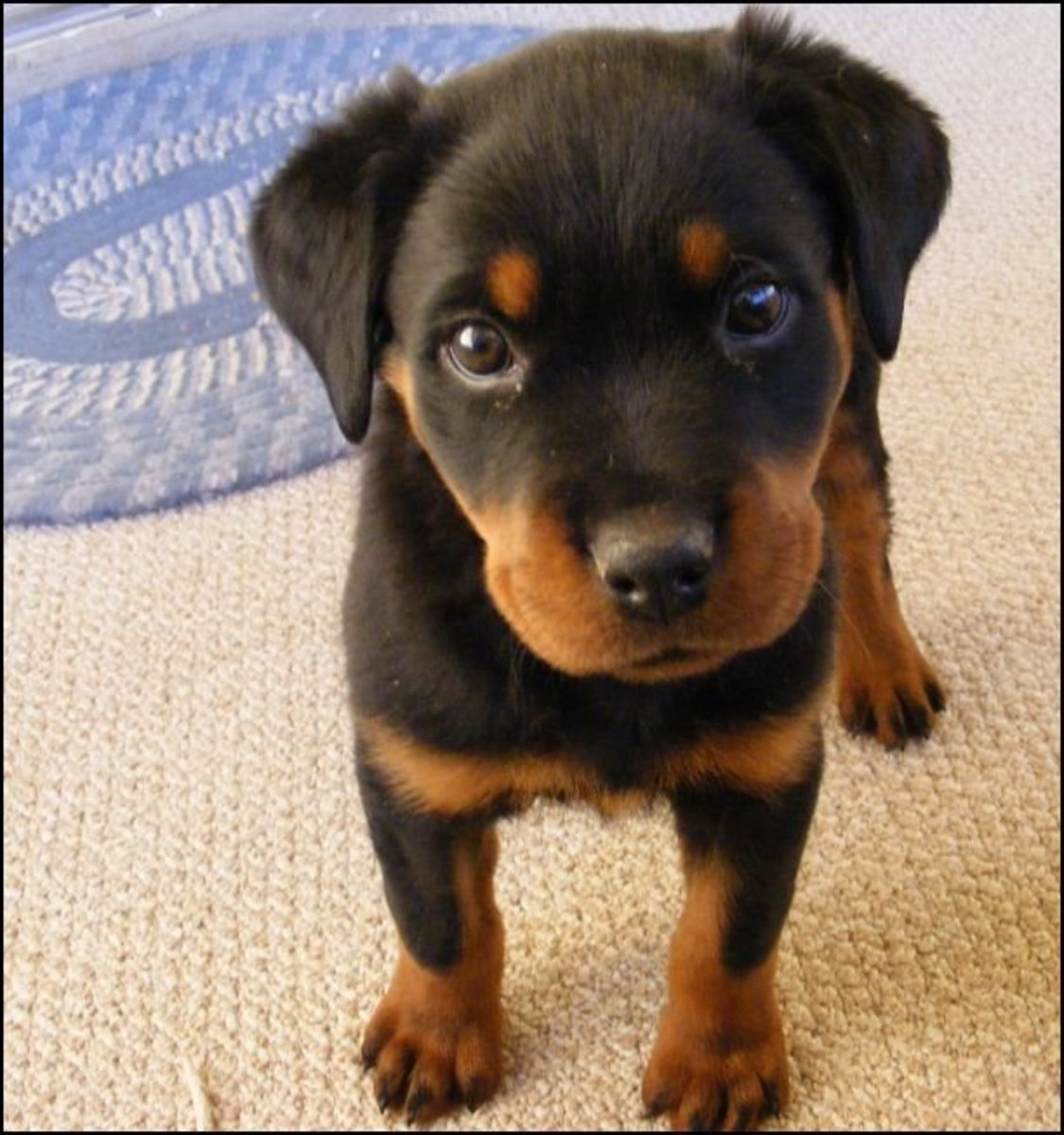 Floppy eared dogs are prone to ear infections