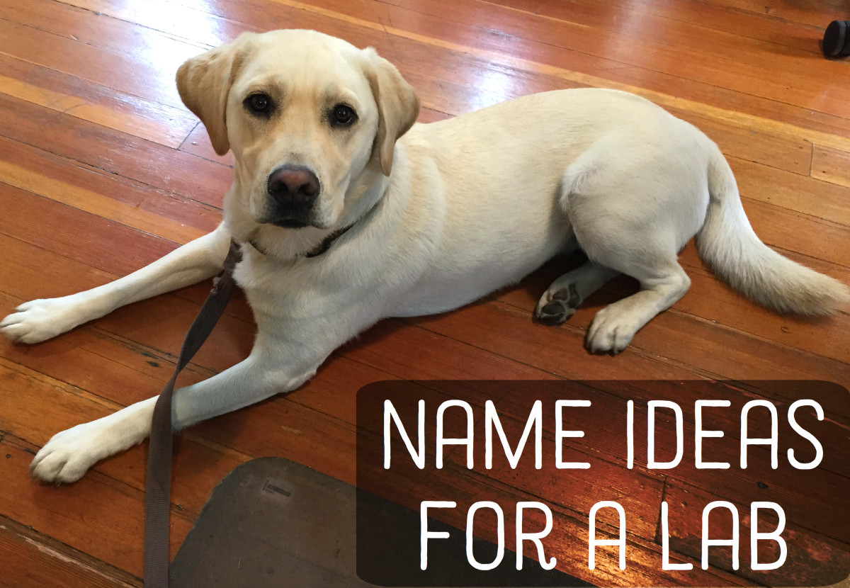 300+ Great Names for Yellow, Black, and Chocolate Labradors (Labs)