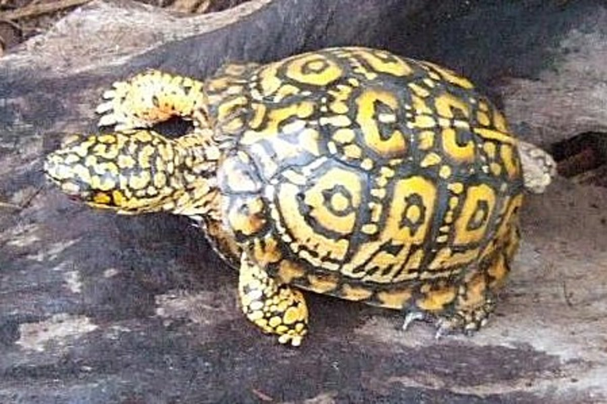 Small penis turtle