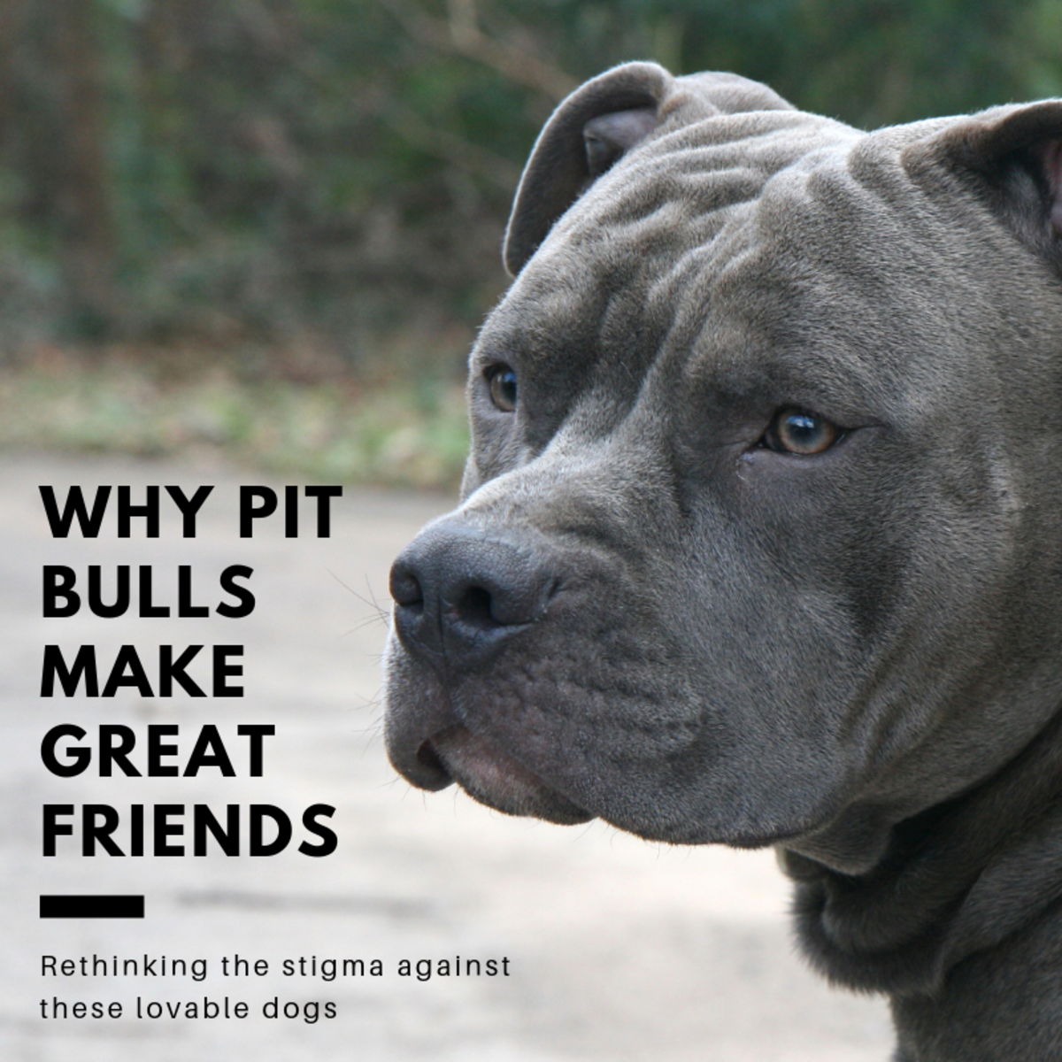 This article will break down what pit bulls are and how they are often misunderstood.