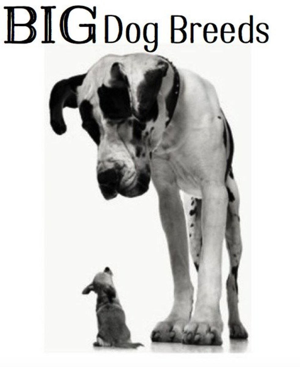 Large Dog Breed Information and Photos