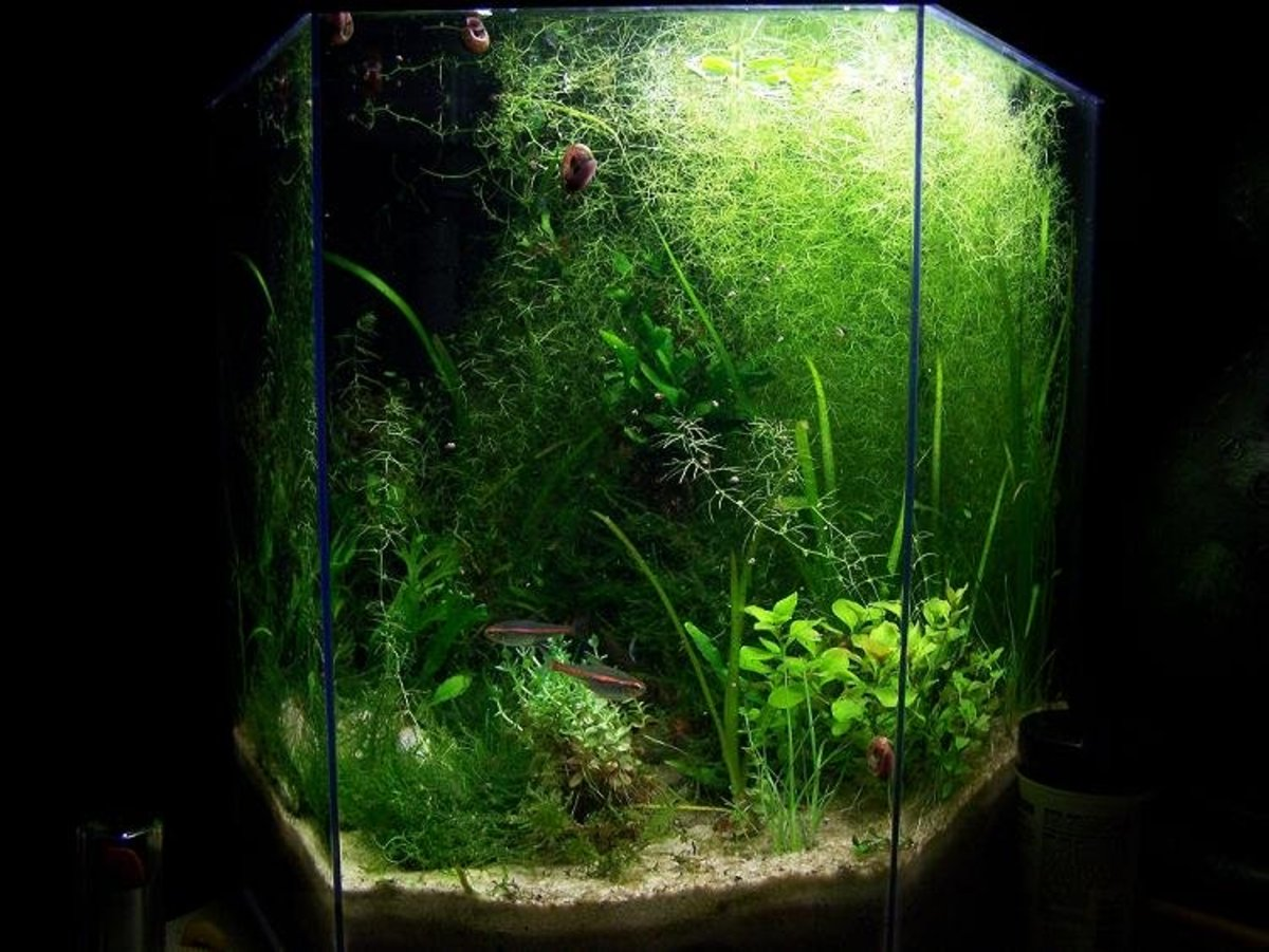 Author's heavily planted, natural aquarium.