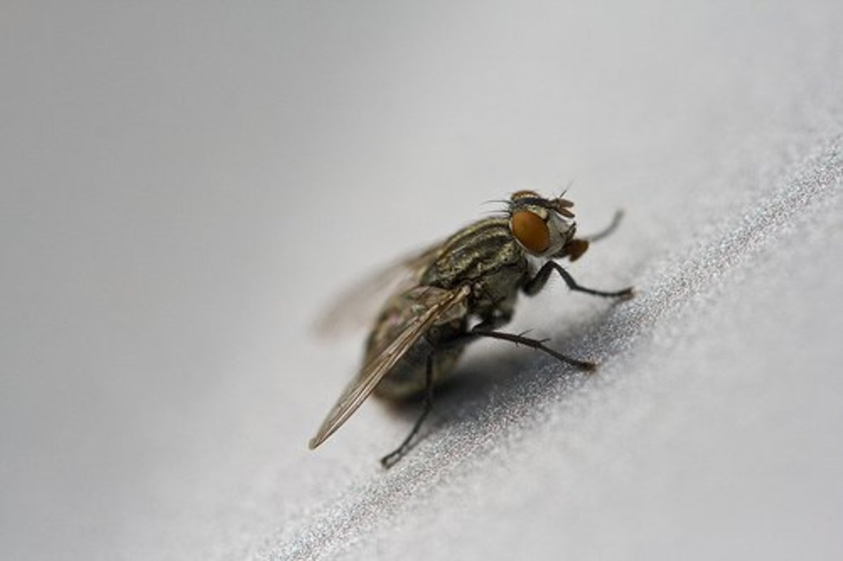Learn how to get rid of the pesky flies around your house.