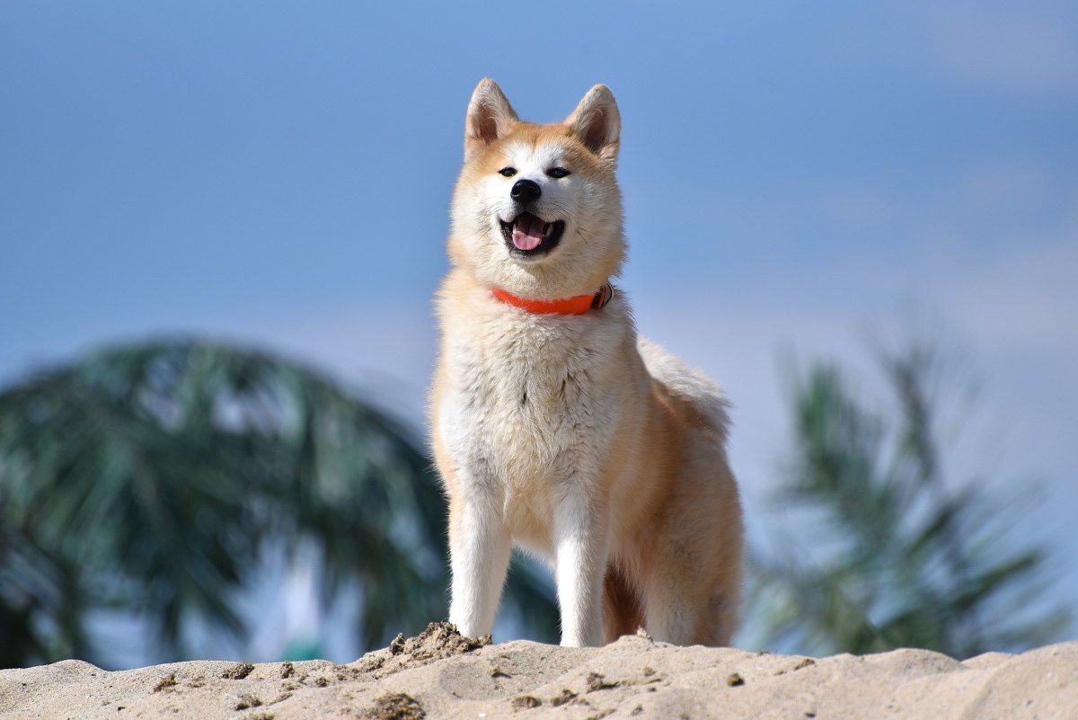 The Akita is the smallest of the giant breeds of dogs, typically standing 24-28 inches tall.