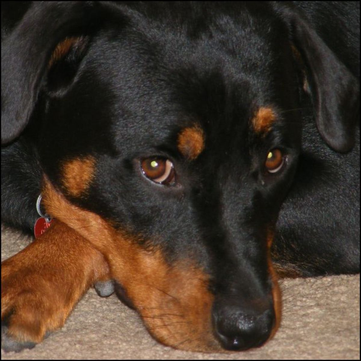 Hypothyroidism is often seen in Rottweilers.