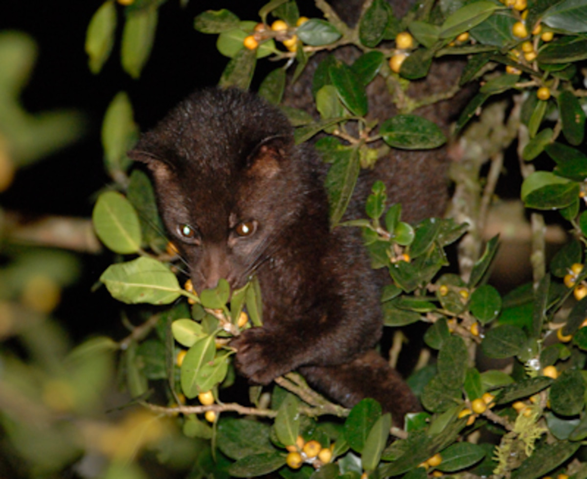 Brown Palm Civet climbing a tree.