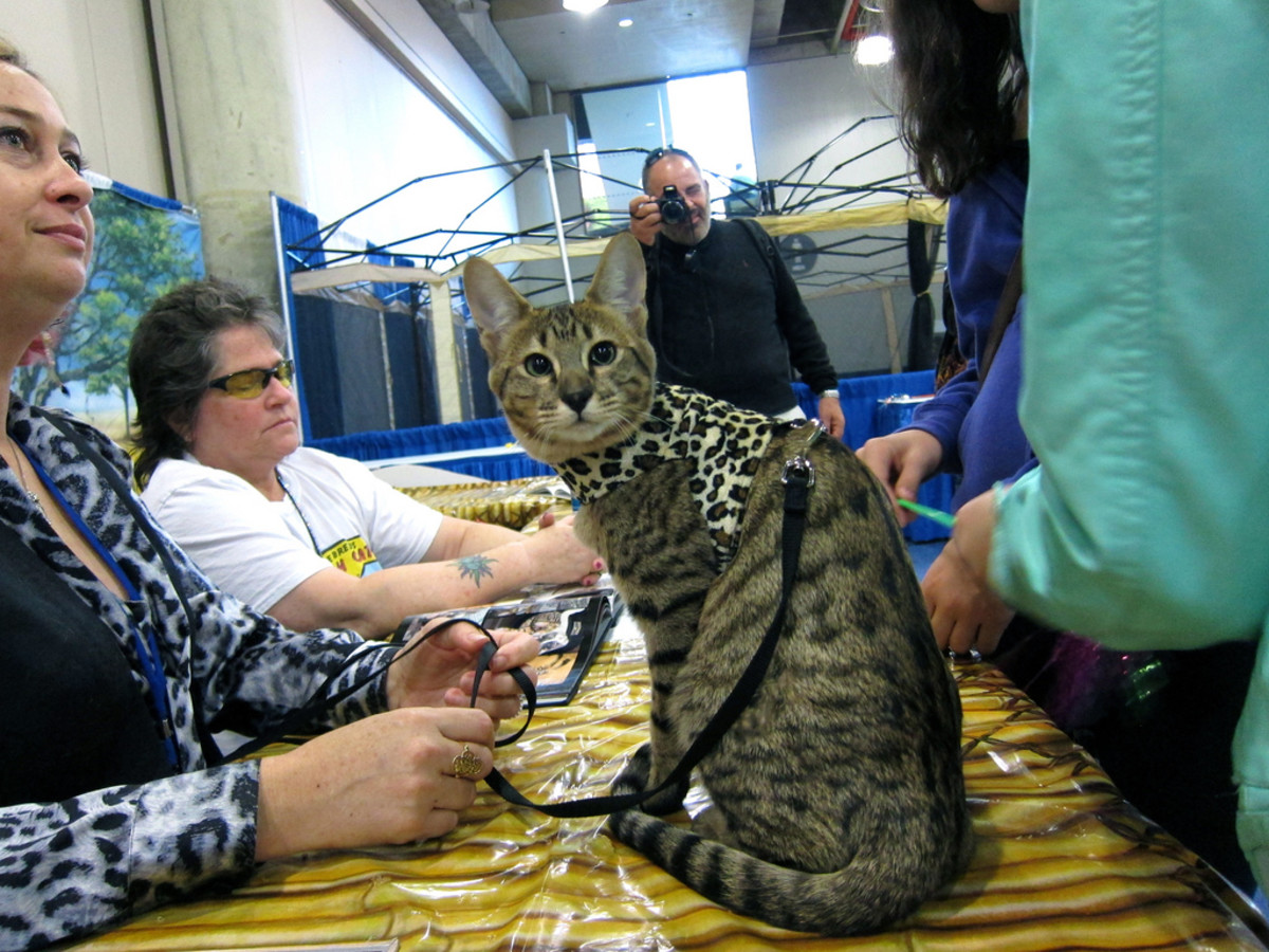 Savannah Cats: A Hybrid Domestic Cat