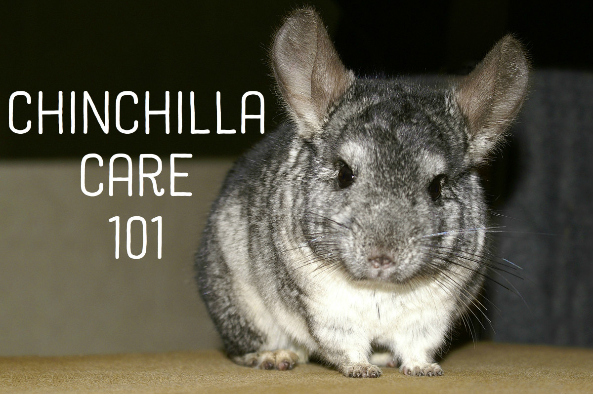 The Basics of Caring for a Chinchilla