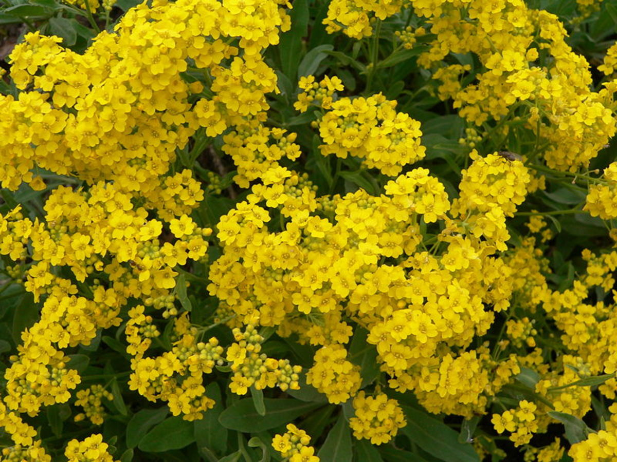 Easy to grow perennial yellow alyssum dengarden click thumbnail to view full size mightylinksfo