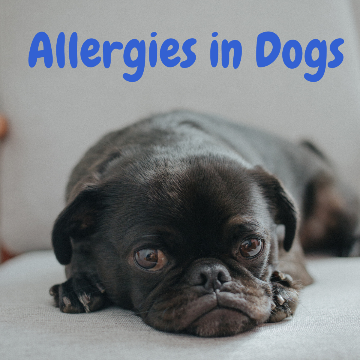 Skin Allergies in Dogs: Home Remedies to Try Before Seeing Your Vet