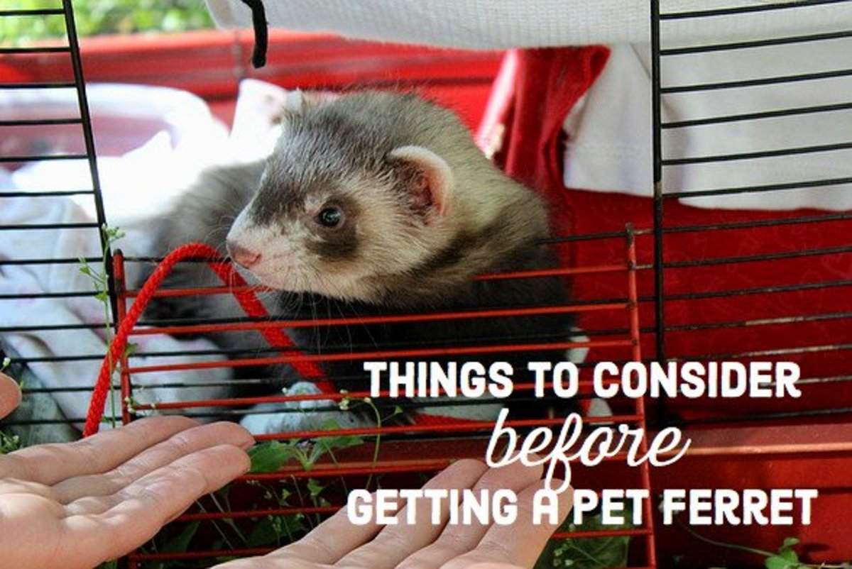 Problems With Keeping Ferrets as Pets