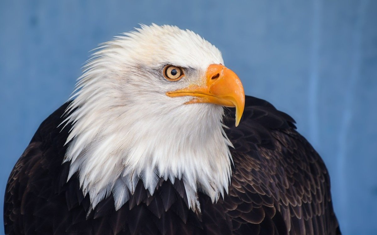 Splendid Bald Eagle