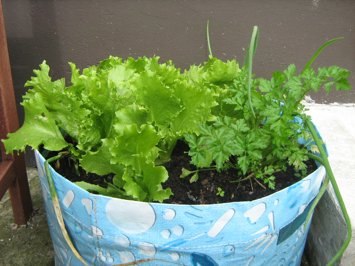 How to grow Lettuce seeds in containers