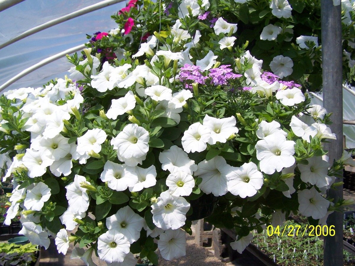 A white wave petunia hanging basket. Notice how compact and full the plant is as well as the profusion of blooms.