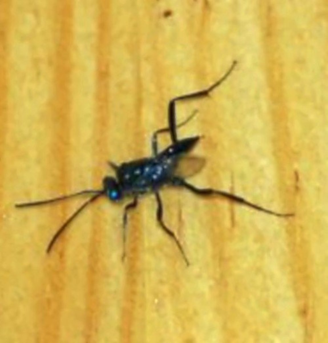 Ensign Wasps Don't Sting People but Will Kill Cockroaches