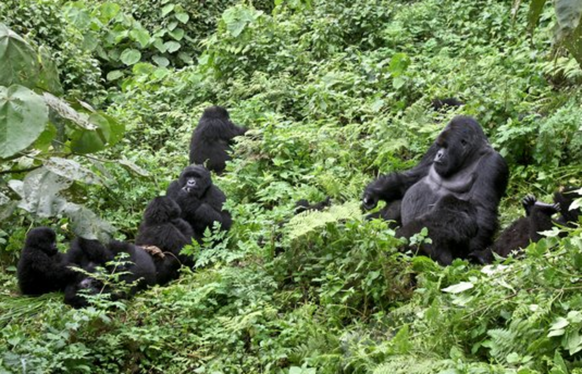 A Family of Mountain Gorillas in Rwanda.