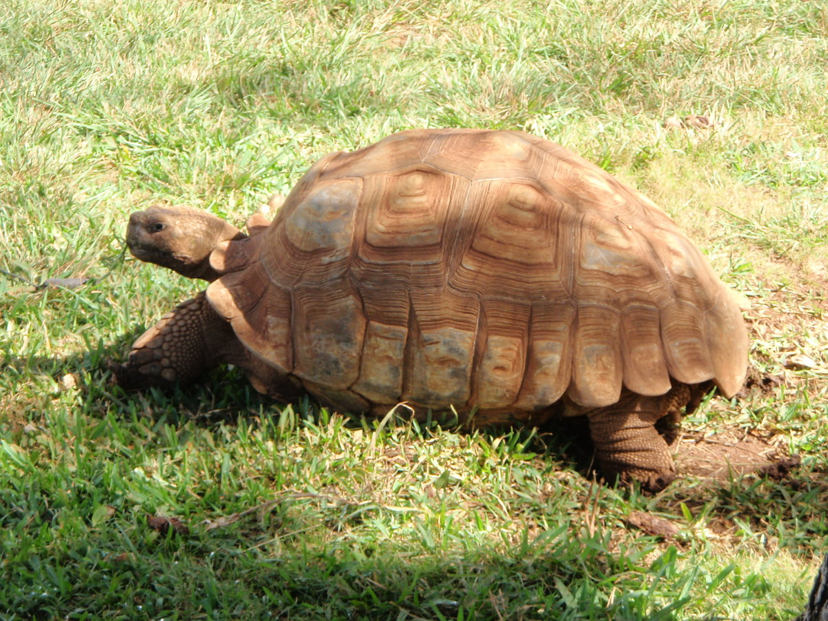 What to Do When Your Tortoise or Turtle Runs Away From Home