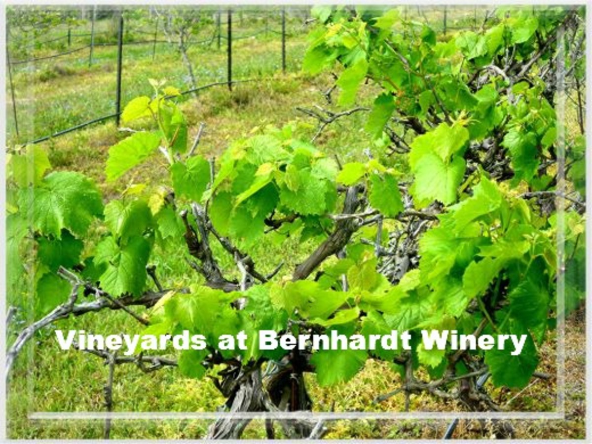 Vineyards at Bernhardt Winery