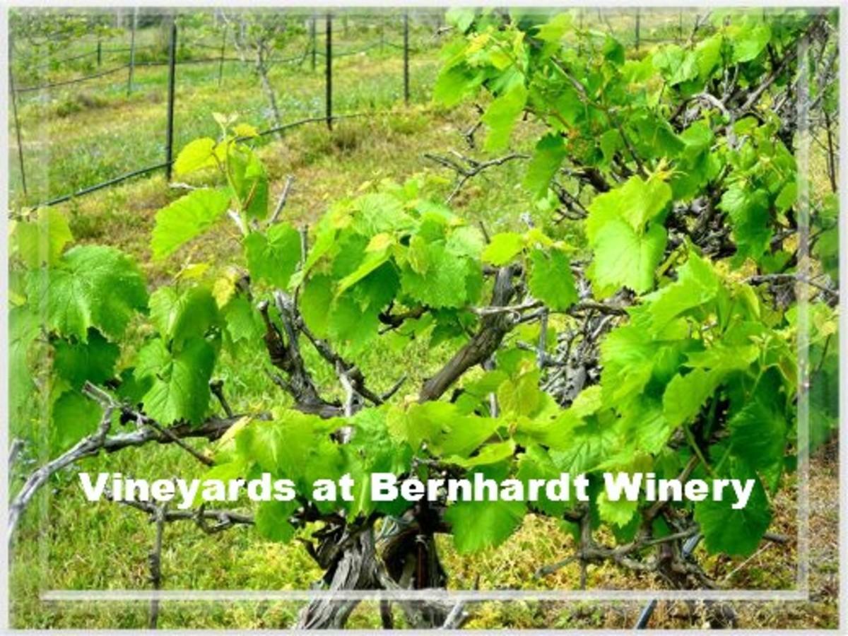 Vineyard at Bernhardt Winery