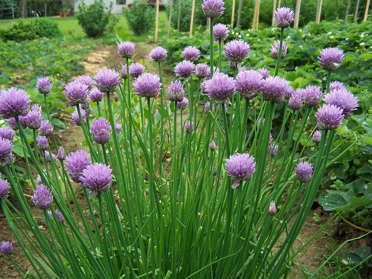 10 Uses for Chives | Dengarden