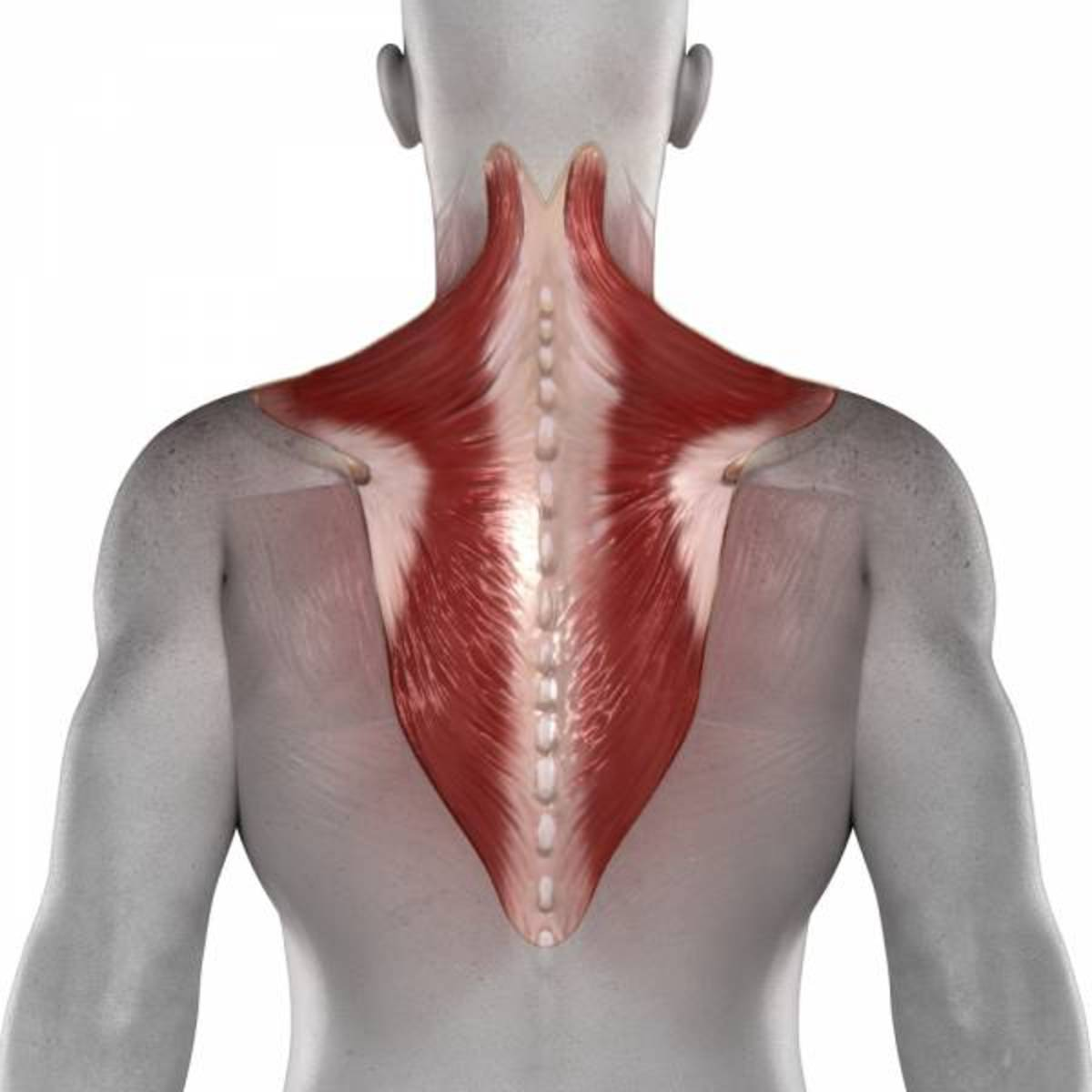 Your trapezius covers a large portion or your back. By developing your traps, you increase the musculature of your back greatly.