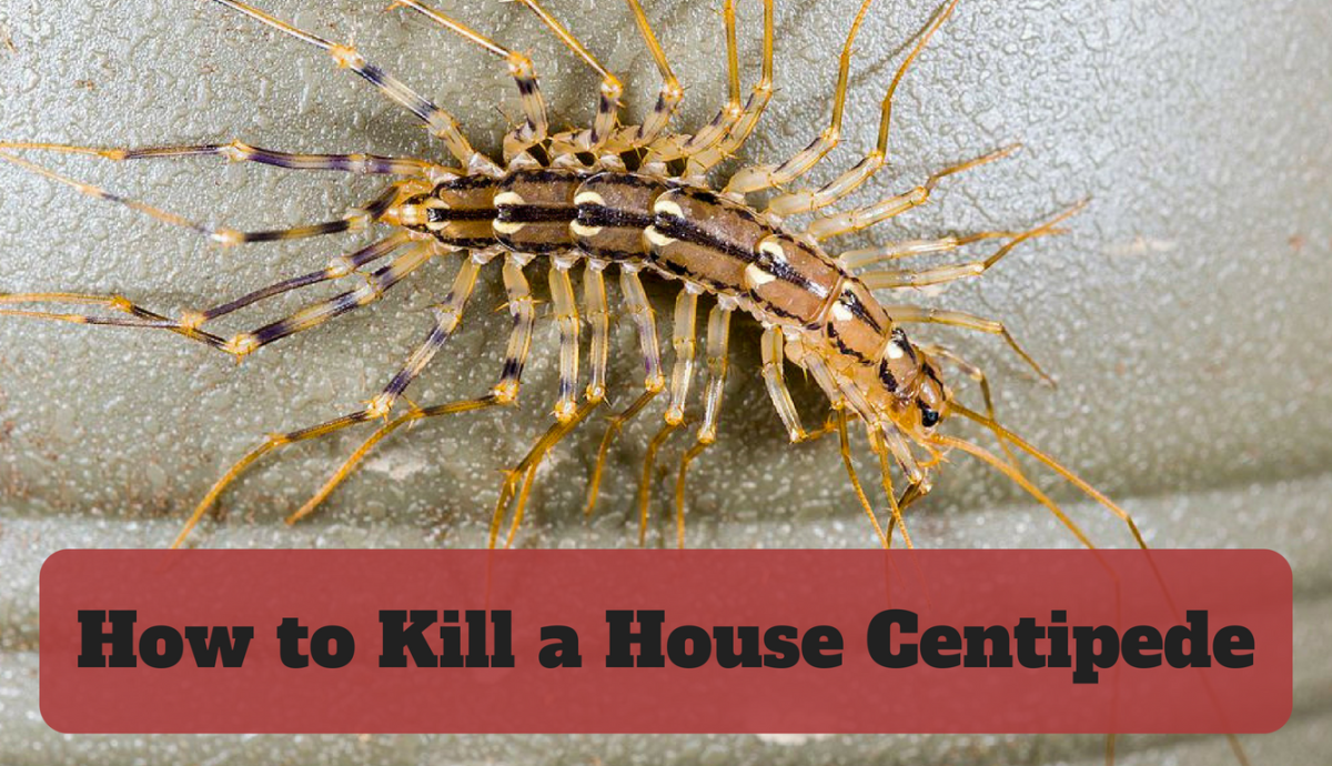 Learn how to get rid of the house centipede from your home!