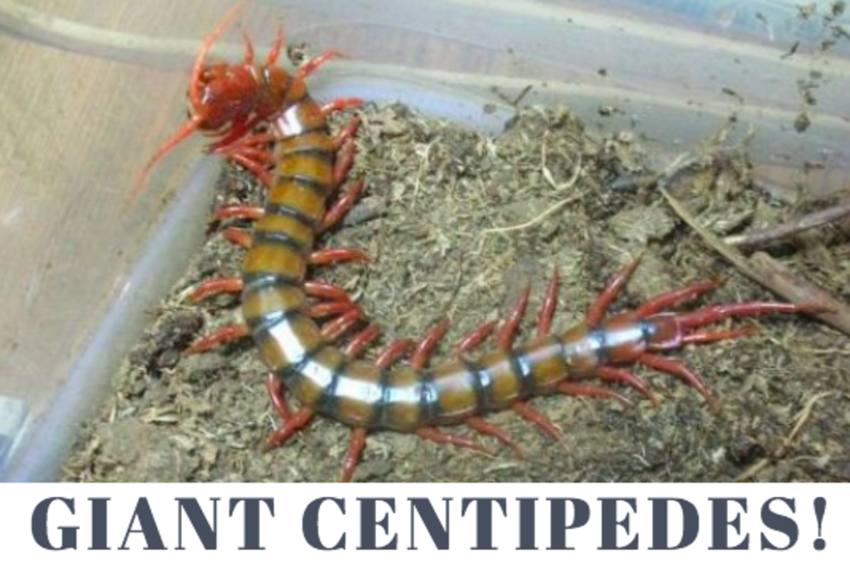 Living in Hawaii: How to Survive the Big Centipedes