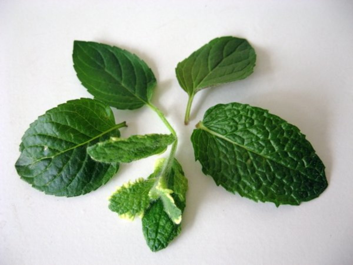Mint comes in many varieties. Photo by E. A. Wright.