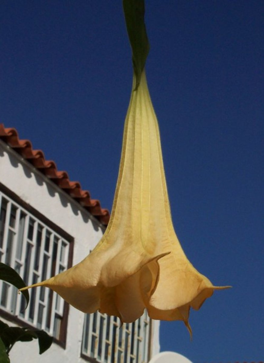 Angel's Trumpet. Photo by Steve Andrews