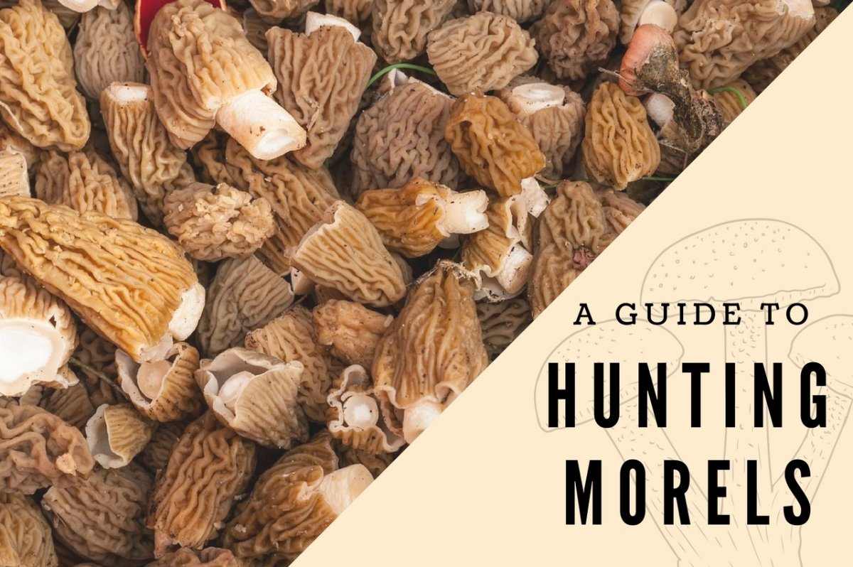 Whether a beginner or a seasoned expert, learn how to mushroom hunt for morels in Southern Oregon.